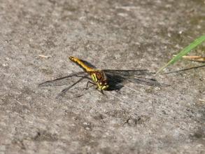 black darter ( female)