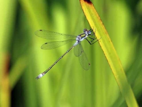 Blue Tailed Damselfly violet form B
