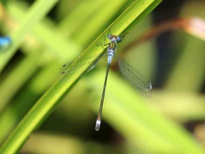 Blue Tailed Damselfly violet form