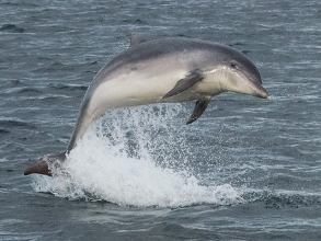 Bottle-Nosed-Dolphin-1-gallery