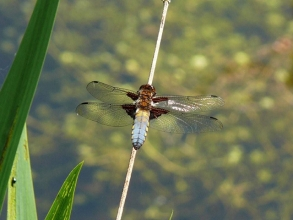 Broad-bodied Chaser-2-Roger-Foster-gallery