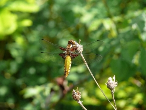 Broad-bodied Chaser-Roger-Foster-gallery
