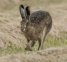 Brown-Hare-2-Derek-Bilton
