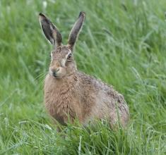 Brown-Hare-Derek-Bilton