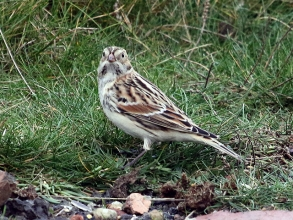 Lapland-Bunting-by-Hector-Galley-1