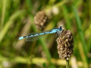 Common-Blue-Damselfly-Roger-Foster-gallery