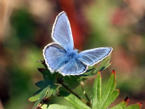 Common-Blue-Hector-Galley-1