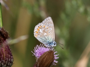 Common-Blue-Hector-Galley-2