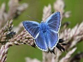 common blueb
