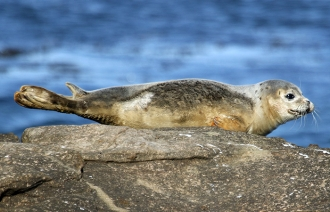 Common-Seal-3-gallery