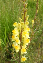 Common Toadflax_edited-1