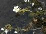 Common Water-crowfoot
