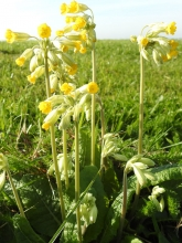 Cowslip_edited-1