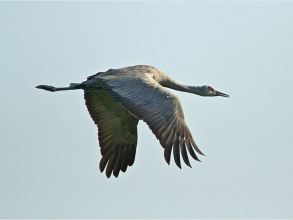 Sandhill-Crane-2-Jimmy-Steele-gallery