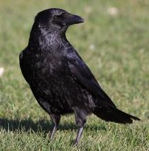 Carrion-Crow-1-David-Dack-Gallery1