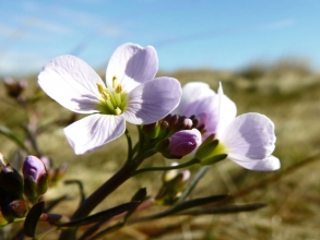Cuckooflower-1_edited-1