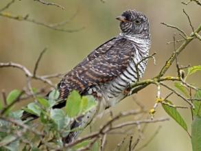 holy island cuckoo
