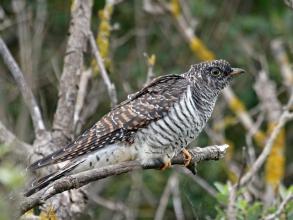 holy island cuckoo2