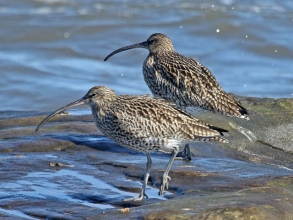 curlew6