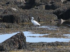 Little egret beacons
