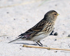 Twite-10-Hector-Galley-April-17