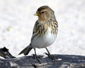 Twite-11-Hector-Galley-April-17
