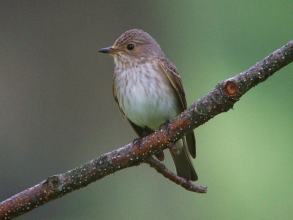Spotted-Flycatcher-Roger-Foster-gallery