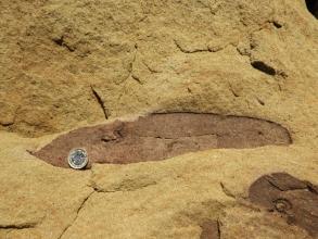 Cordaites fossil