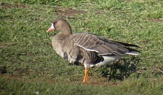 Euro-White-fronted-Goose-Jimmy-Steele-gallery