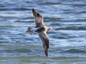 Bar-tailed-Godwit-Roger-Foster-2-gallery