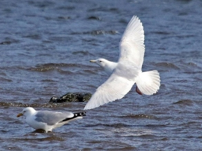 Iceland-Gull-12-Hector-Galley-April-17