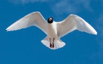 Med-Gull-1-Jack-Bucknall-March-17-Newbiggin
