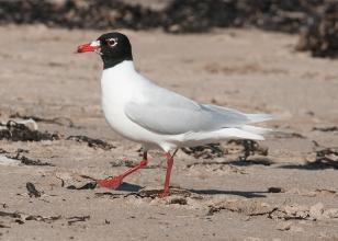 Med-Gull-3-Jack-Bucknall-March-17-Newbiggin