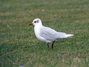 med gull winter plumage 2