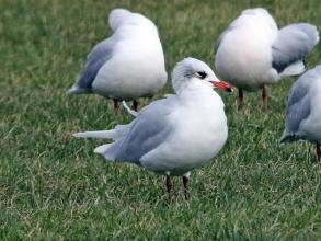 med gull winter plumage