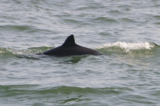 Harbour-Porpoise-gallery-1