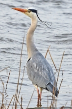 Grey-Heron-March-2012-A-Buskin