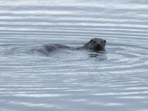 Otter-1-Derek-Bilton-gallery2