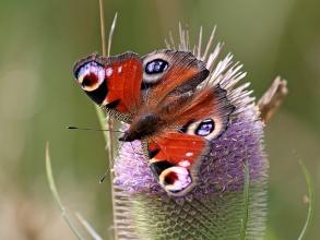 Peacock-Hector-Galley-photo2