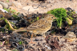 Meadow-Pipit-AB-08-13