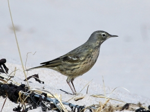 Rock-Pipit-1-Hector-Galley-April-17