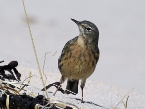 Rock-Pipit-2-Hector-Galley-April-17