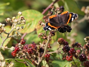 Red-Admiral-1-Hector-Galley