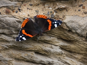 Red-Admiral-2-Hector-Galley