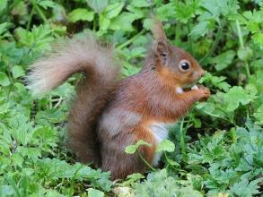 Red-Squirrel-2-Derek-Bilton