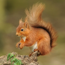 Red-Squirrel-Derek-Bilton
