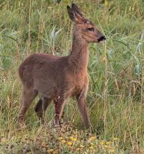 Roe-Deer-Derek-Bilton-gallery2