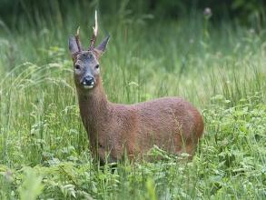 Roe-Deer-Derek-Bilton