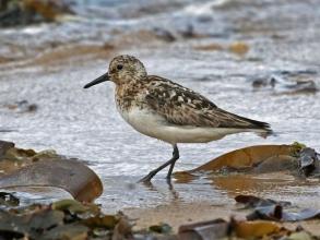 sanderling9