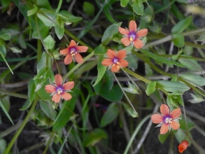 Scarlet Pimpernel_edited-1